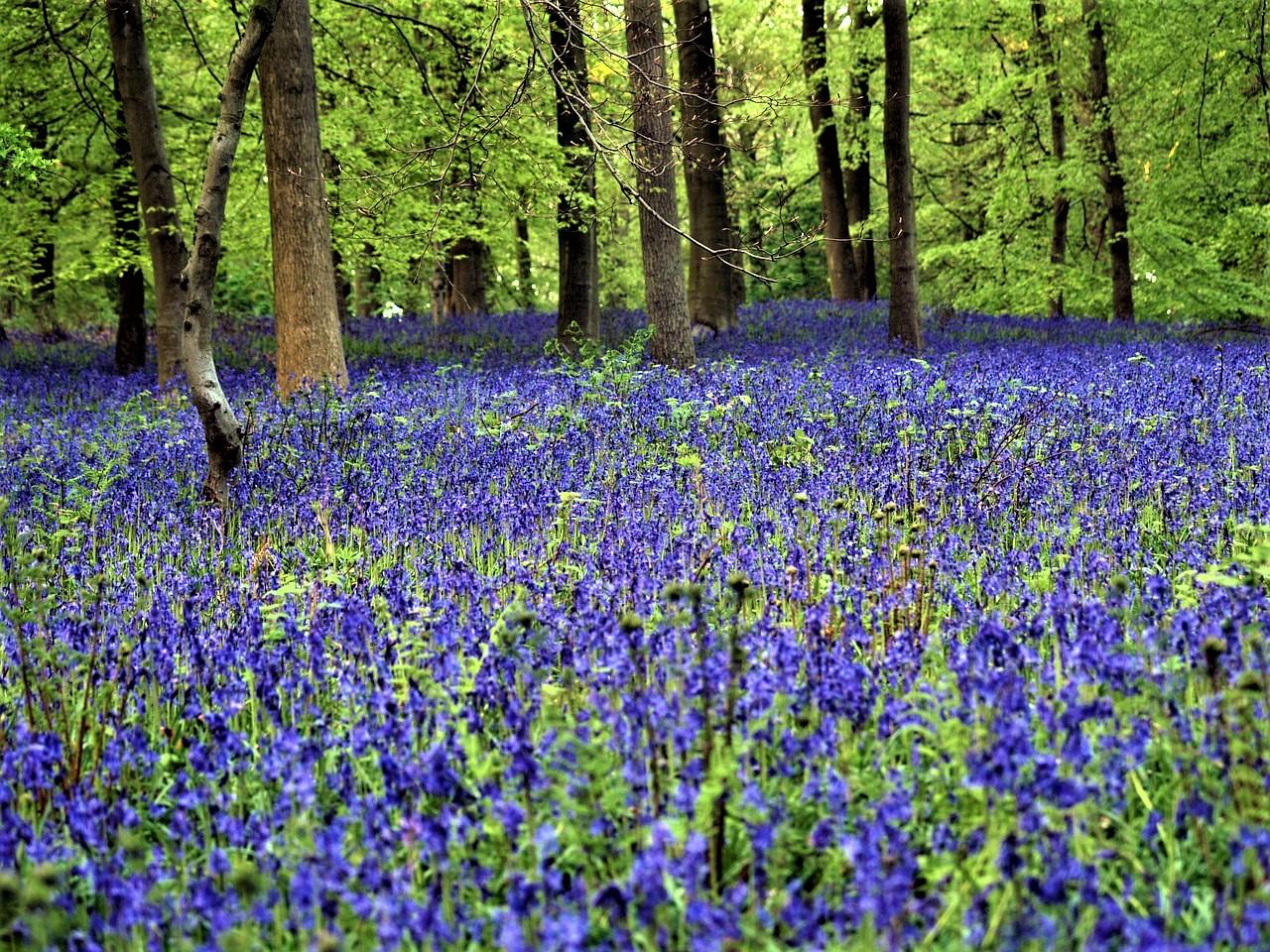 Hallerbos, Belgium: bluebells wood