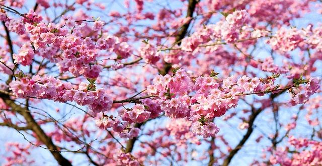 cherry-blossom-1318258_640